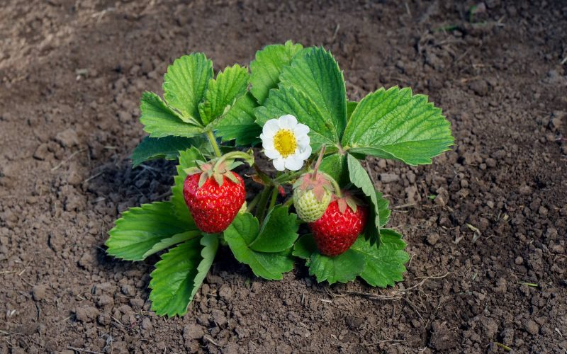 A guide to Strawberry Flowers