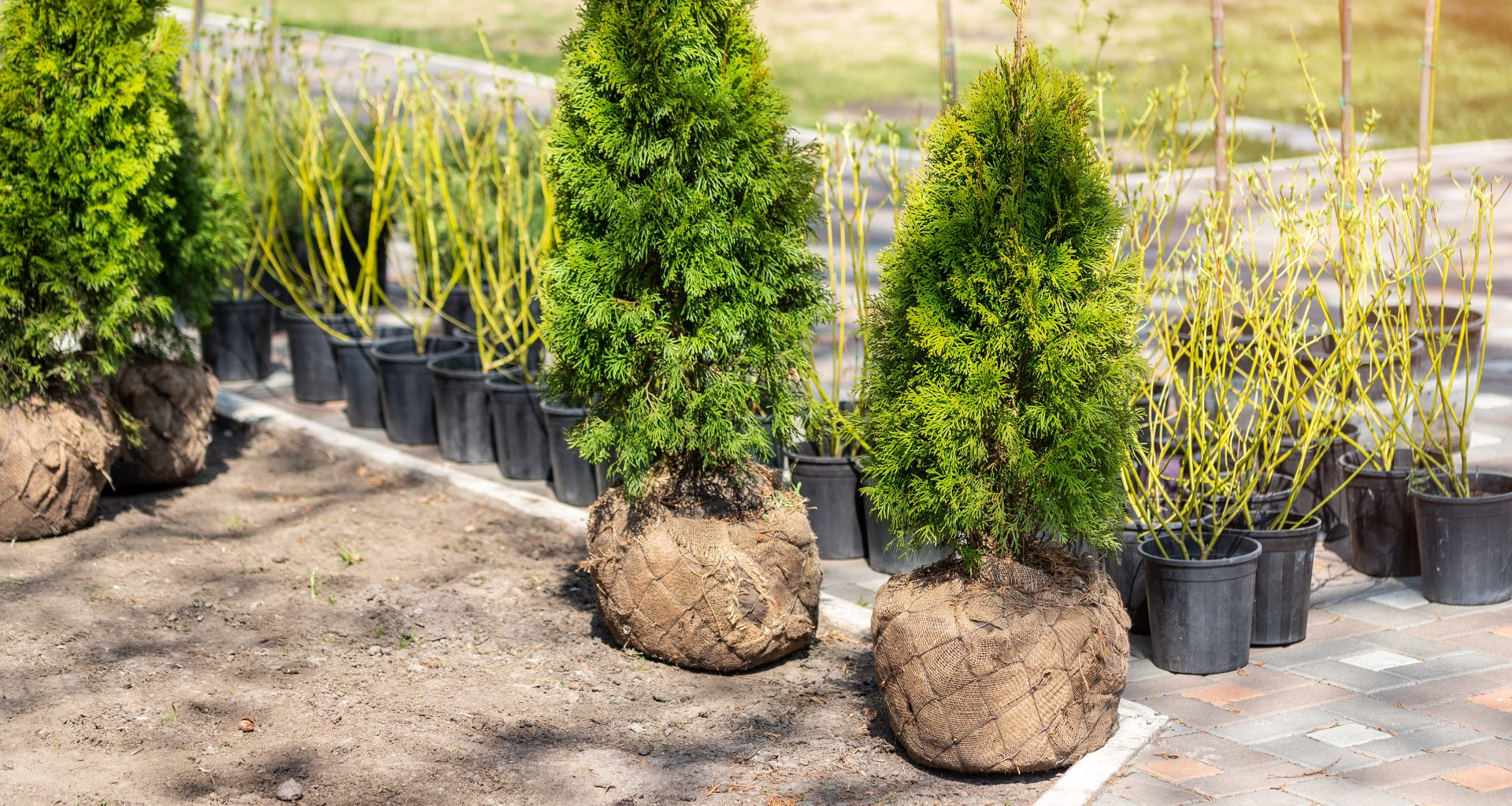 What is Root Ball Hedging