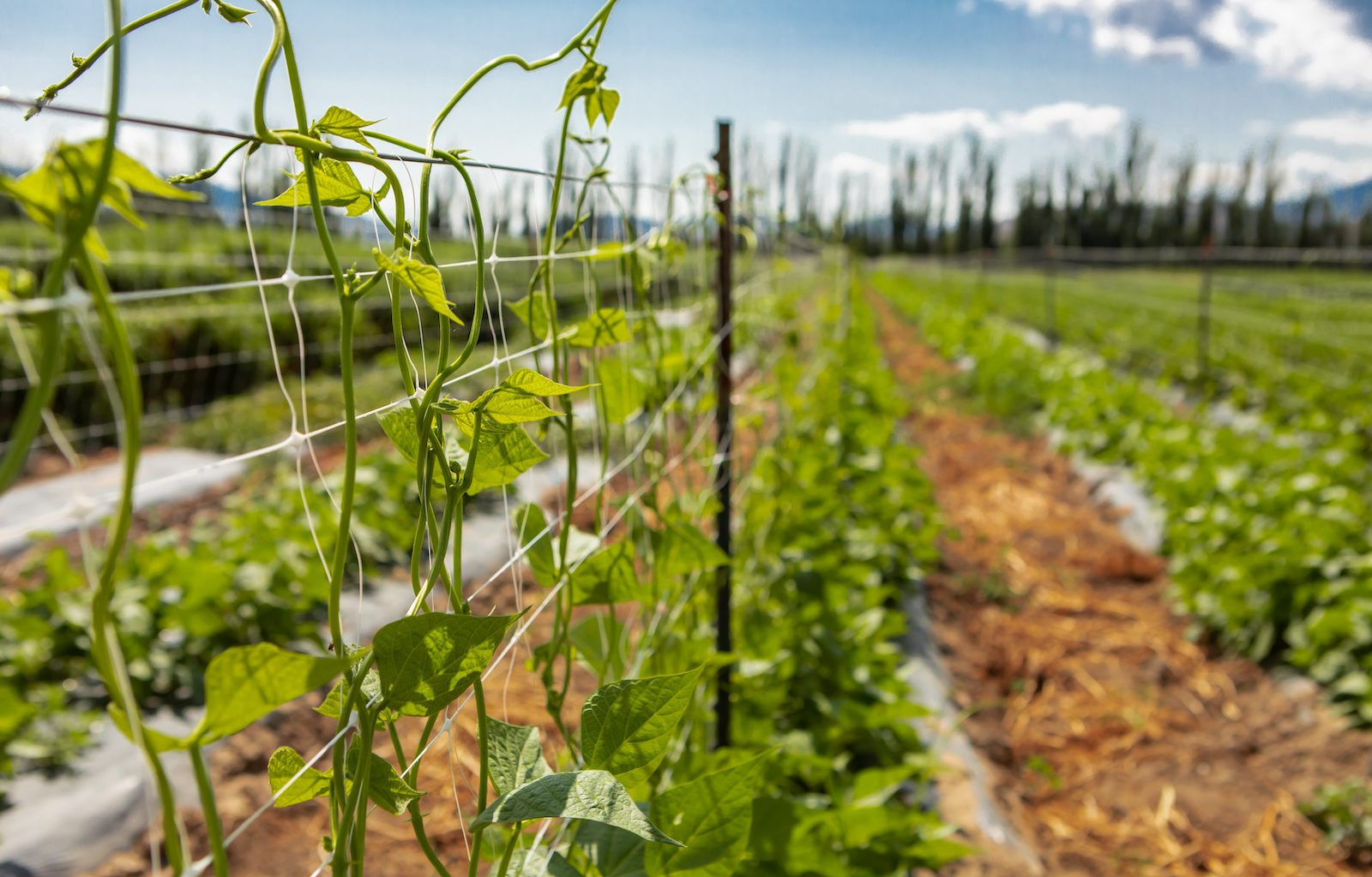How to build a pea trellis
