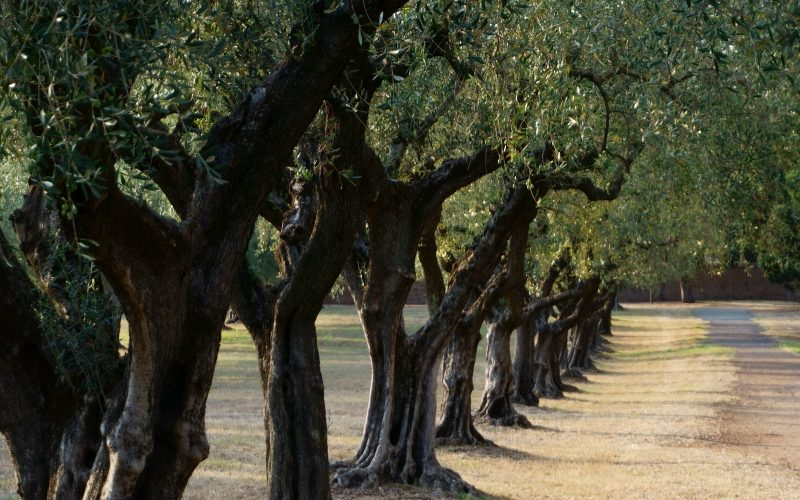 History of Olive Trees